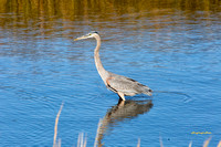 Heron at Bombay Hook