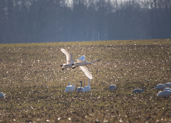 Snow Geese Gliding